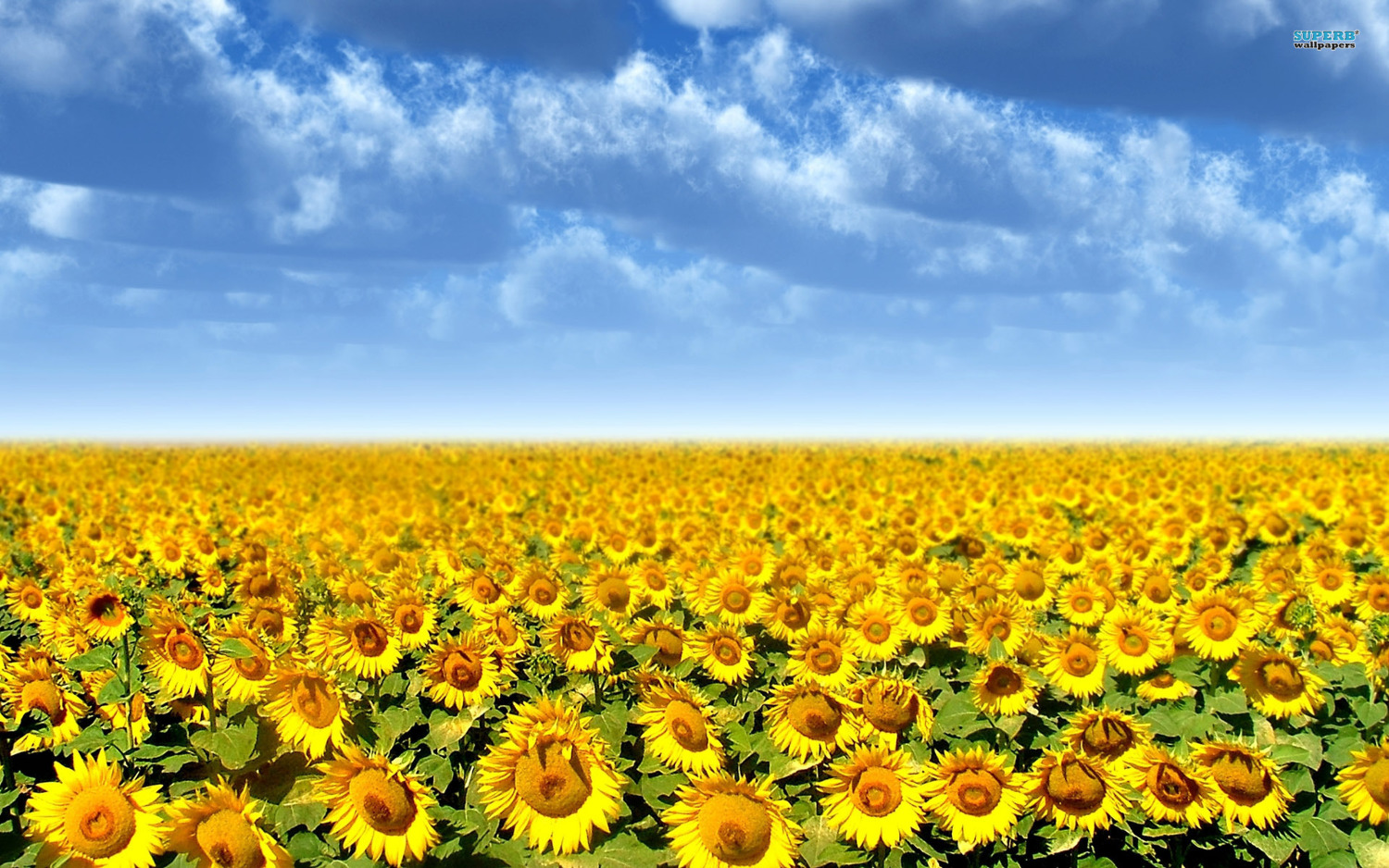 Sunflower Field 4409 1920x1200 Love World On Rediff Pages